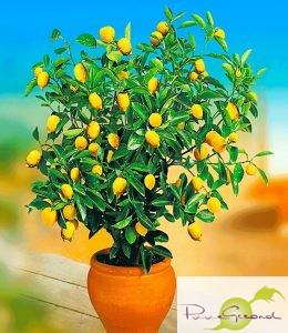 citroenboompje